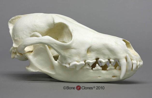 coyte skull bc-143e-lg