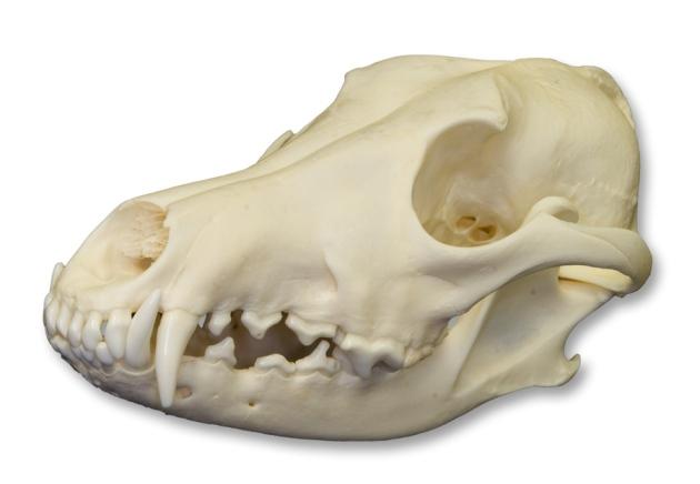 coyte skull