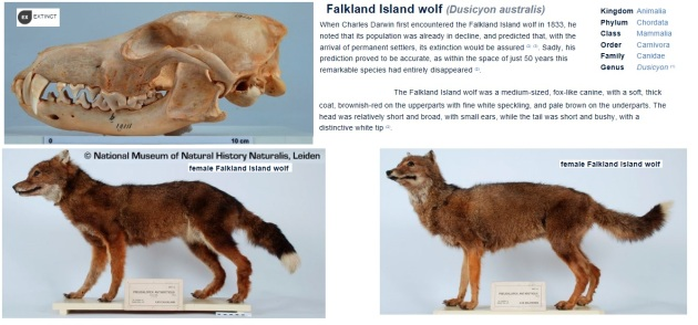 falkland island wolf
