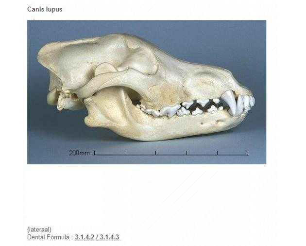 General , wolf (=canis lupus)