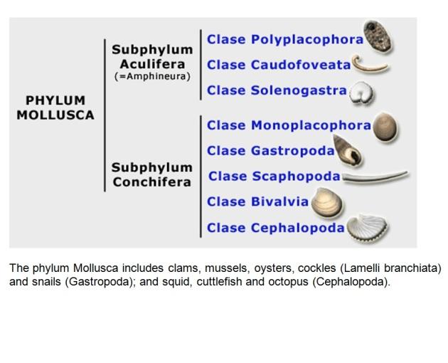 Phyllum MOLLUSCA