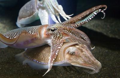 sepia zeekat
