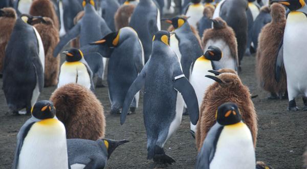 Banded_penguin