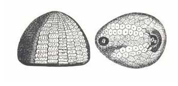Fig.60. Echinocorys scutata forma ovata LESKE. (naar Zittel, 1915) http://www.seeigel-fossilien.de/varianten_seeigel_echinocorys.htm