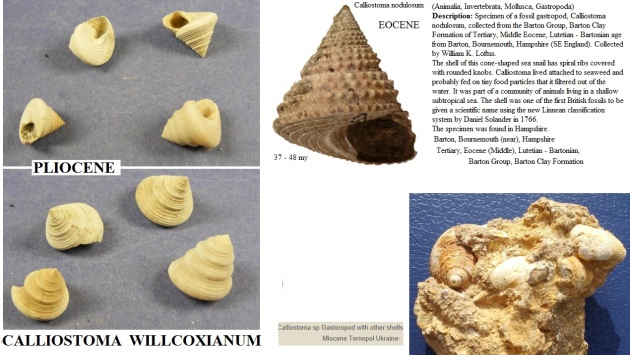 Fossil calliostoma