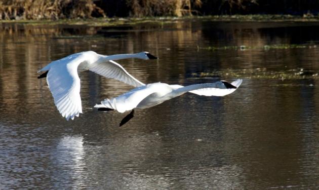 trumpeter-swans