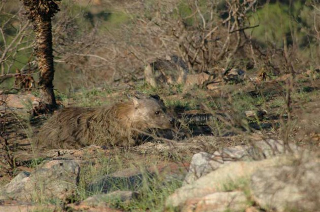 bruine hyena Hyaena brunnea