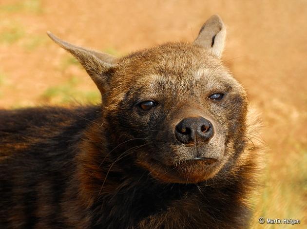 Brown Hyaena Portrait
