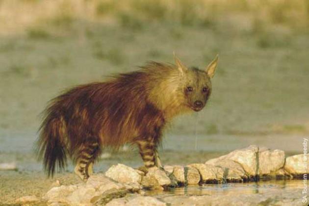 Bruine hyena