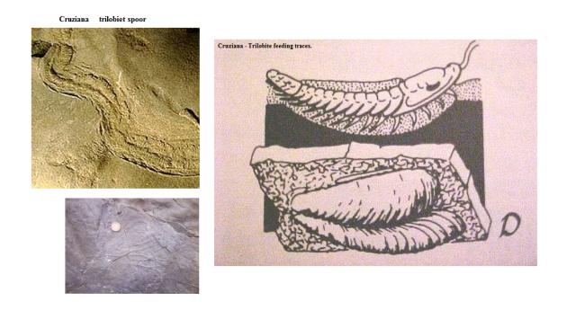 cruziana  trilobite tracks