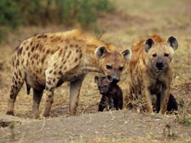 gevlekte hyena's