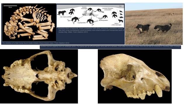 grothyena schedel