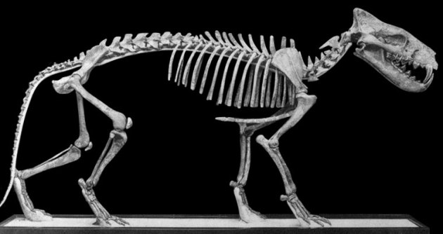 hyanodon skeleton