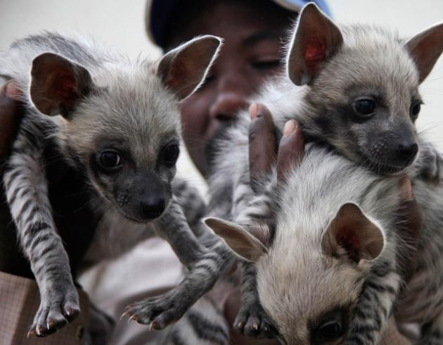 Hyena welpen