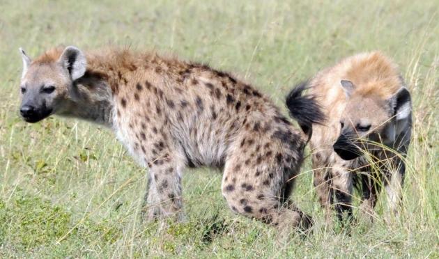 Hyenas scent posts