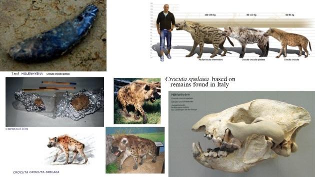 spelonkhyena  schedel