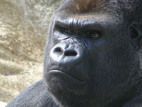 angrty gorilla    759211749_6f6642c0f5
