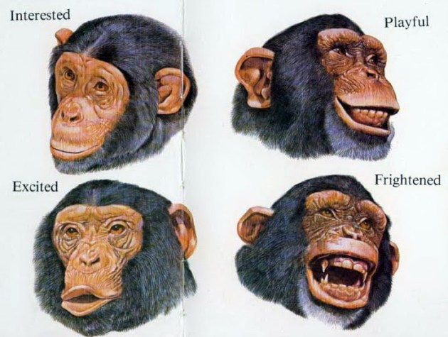 facial-expressions1  chimps